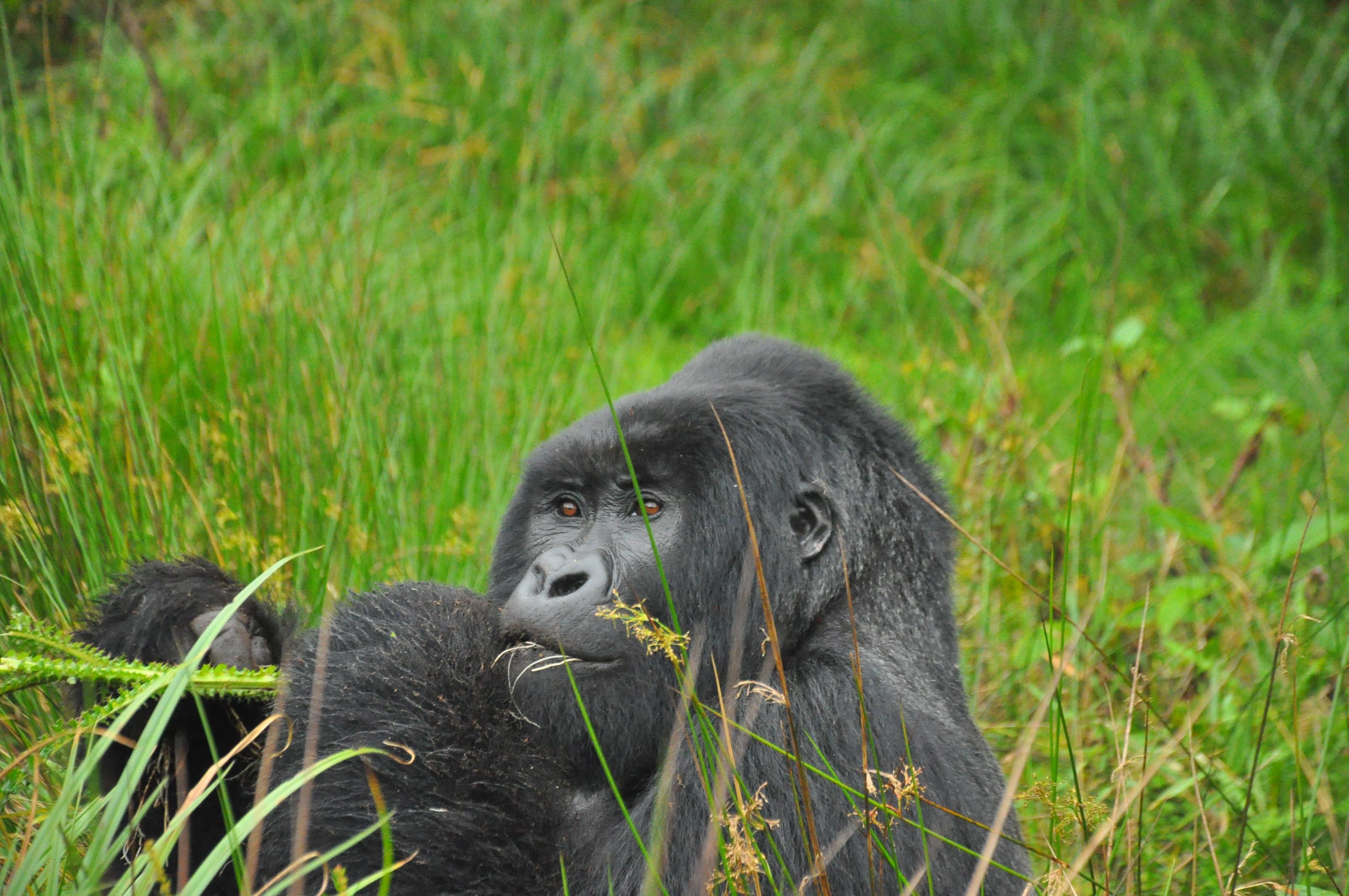 Gorilla tracking safari Bwindi impenetrable forest national park