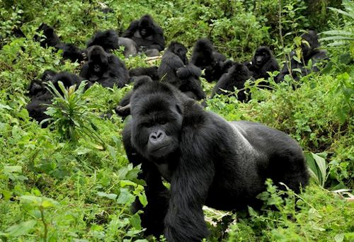Nshongi gorilla group