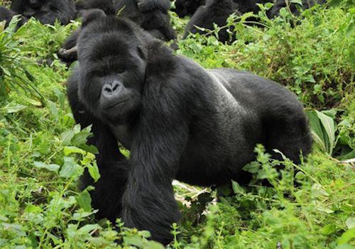 Rushaga gorilla