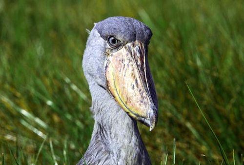 birds in uganda