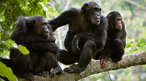 chimp habituation