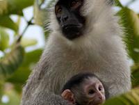Uganda, rwanda Gorilla Trekking