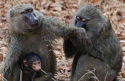 olive baboons uganda