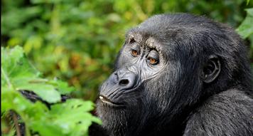 The Duty Of A Silverback In A Gorilla Family